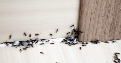 Kako pregnati mravlje iz stanovanja?