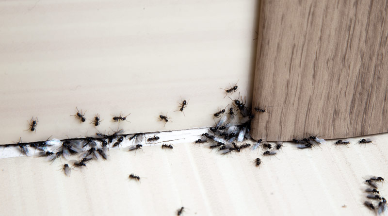 Mravlje v stanovanju